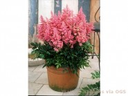 Astilbe 'Country & Western'