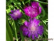 PP_Stokesia_Honeysong_Purple_IMG_5089