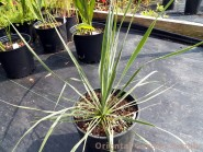 Yucca rostrata 'Sapphire Skies'