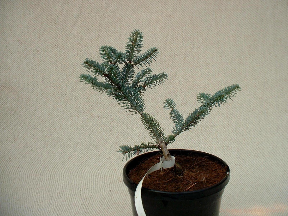 Abies fraseri 'Blue Bonnet'