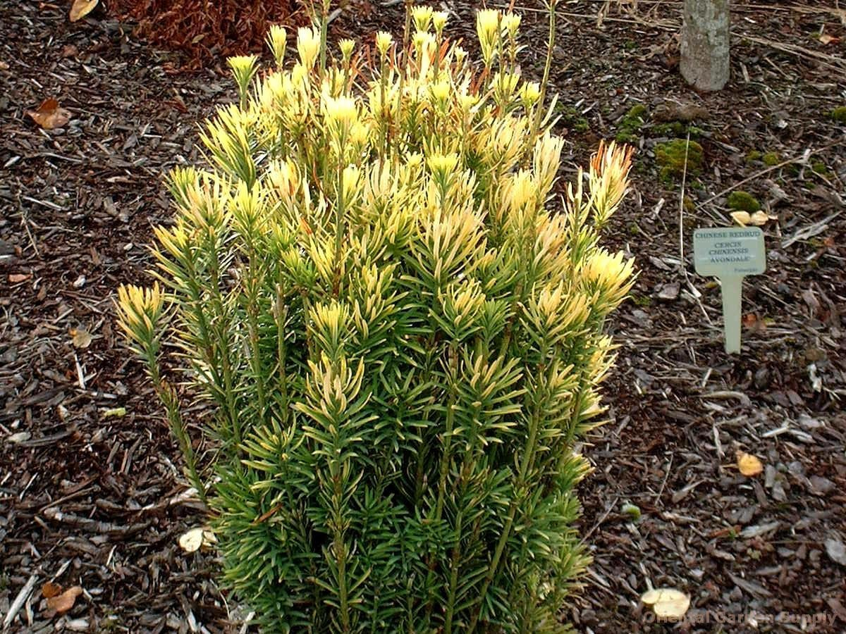 Cephalotaxus harringtonia 'Korean Gold'
