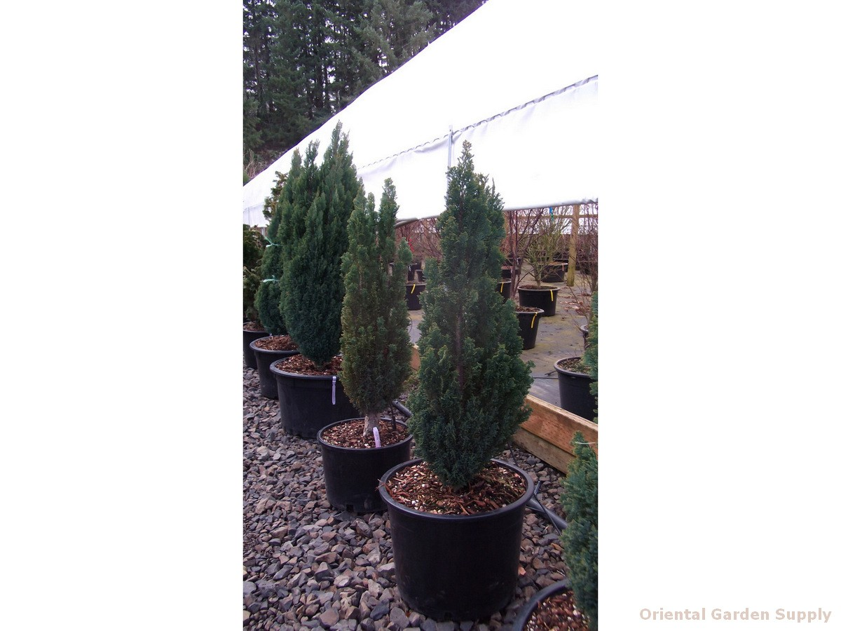 Chamaecyparis lawsoniana 'Ellwood's Pillar'