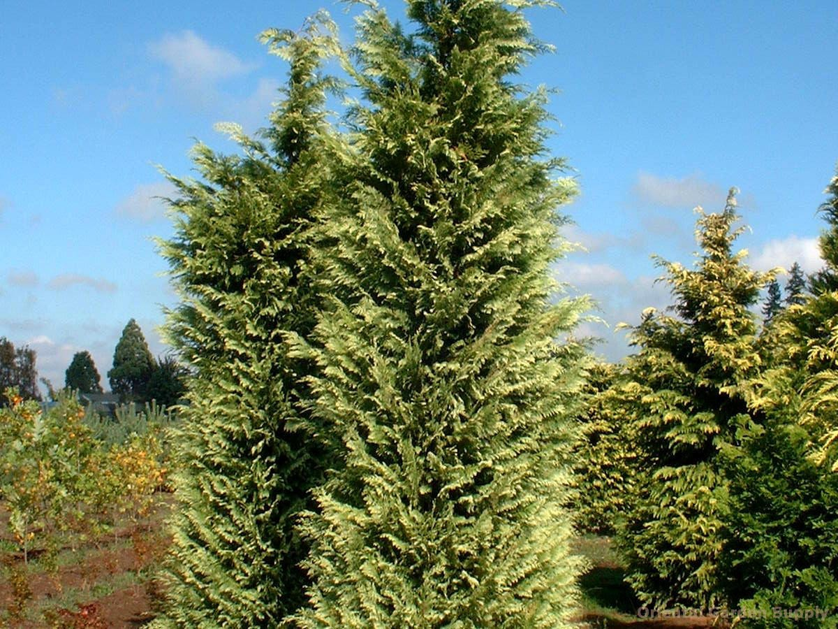 Chamaecyparis lawsoniana 'Silver Queen'