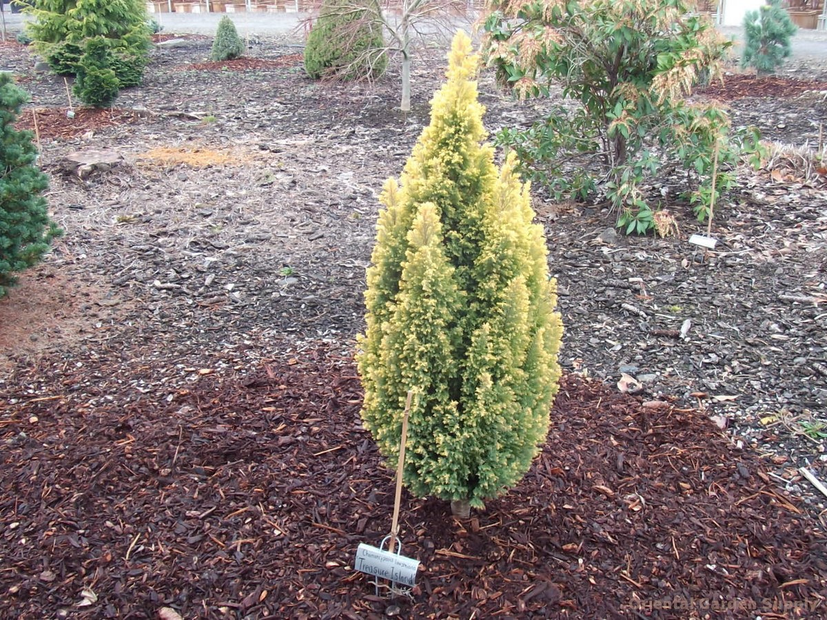 Chamaecyparis lawsoniana 'Treasure Island'