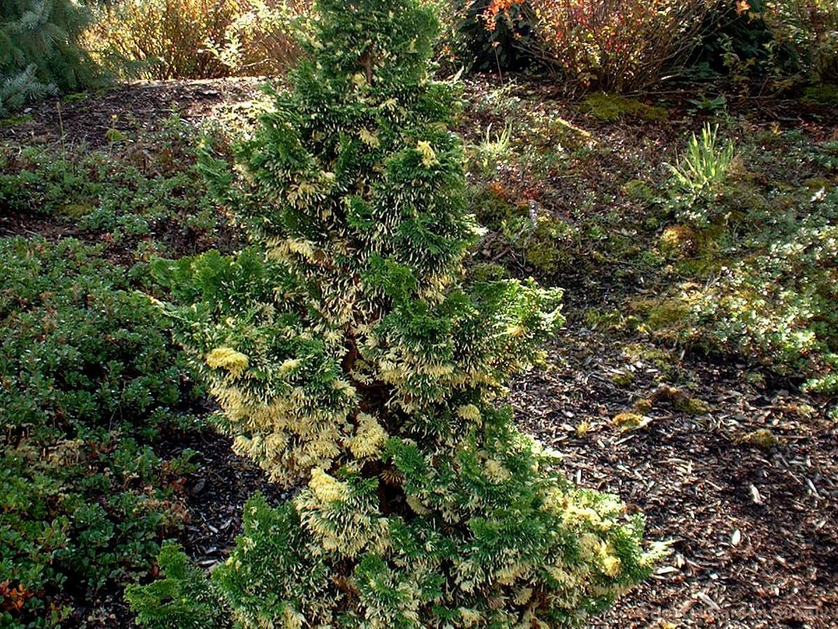 Chamaecyparis obtusa 'Baldwin Variegated'