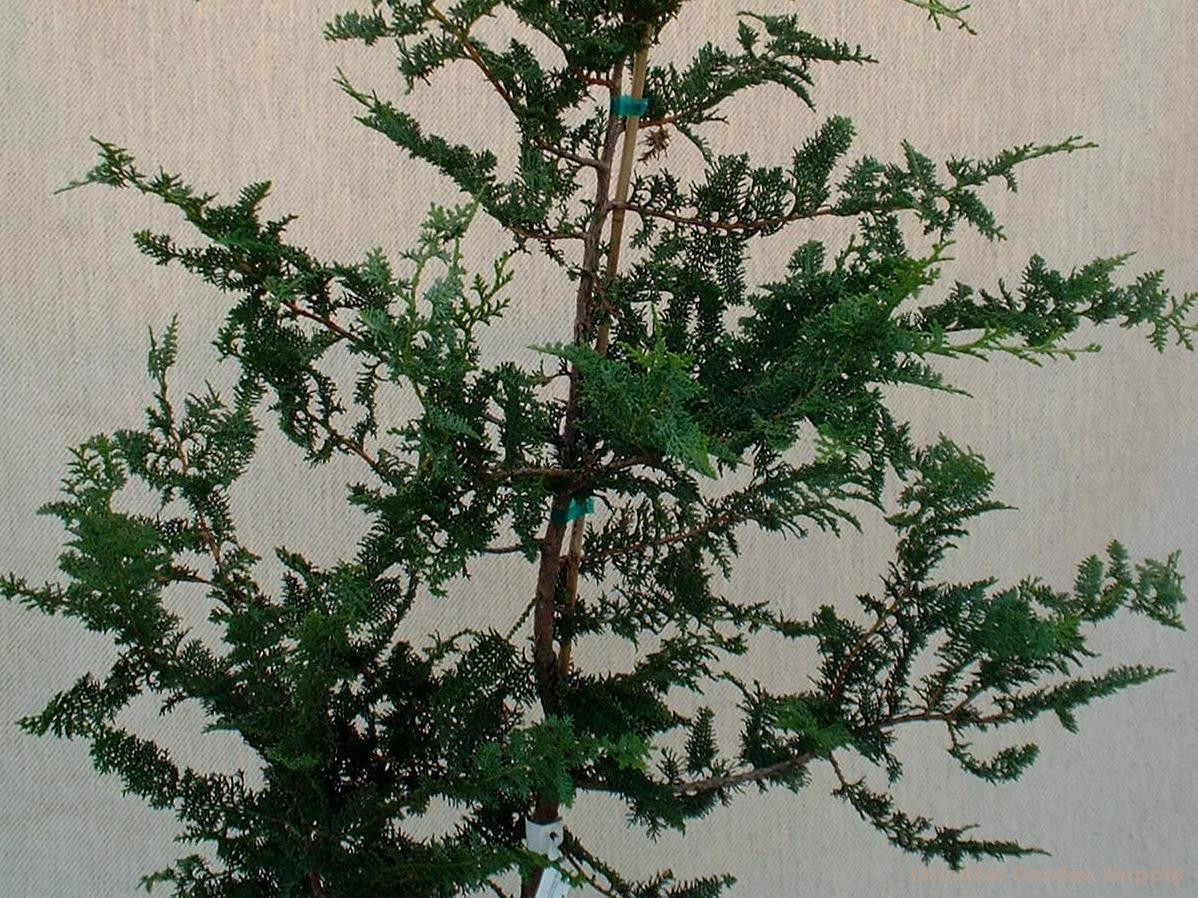 Chamaecyparis obtusa 'Filicoides'