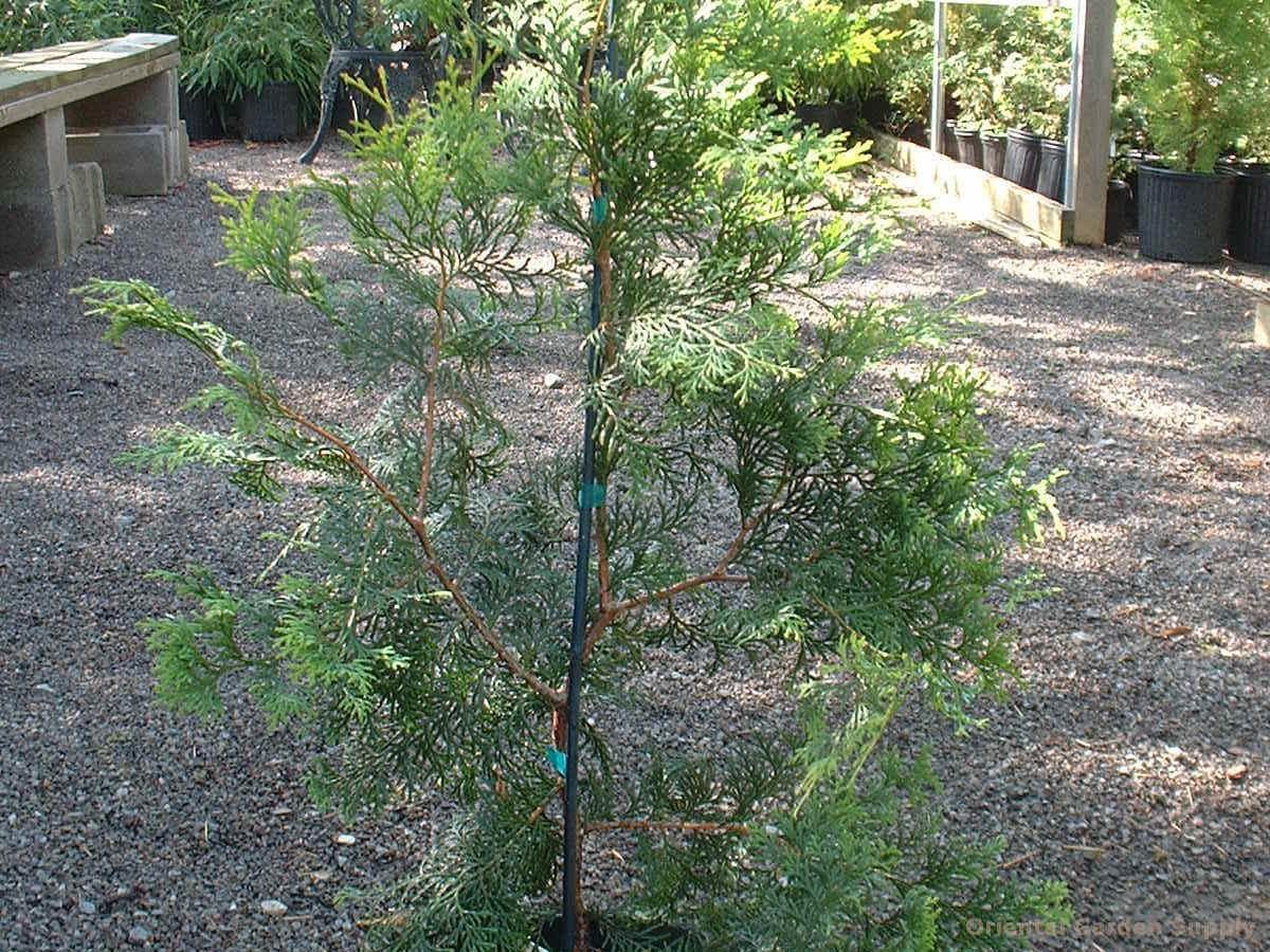 Chamaecyparis obtusa 'Lacy'