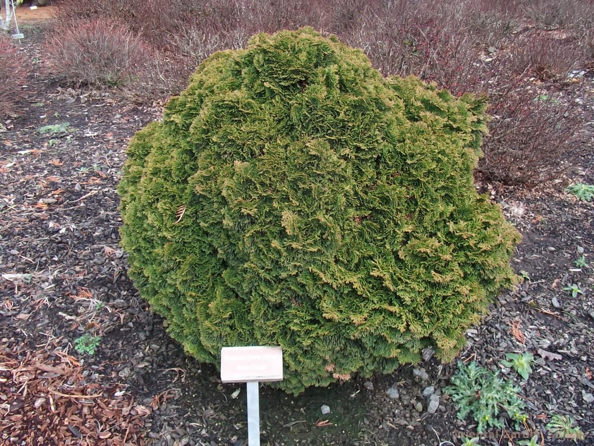 Chamaecyparis obtusa 'Nana'