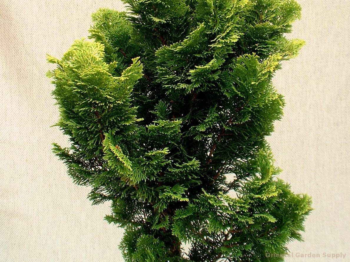 Chamaecyparis obtusa 'Nana Lutea'