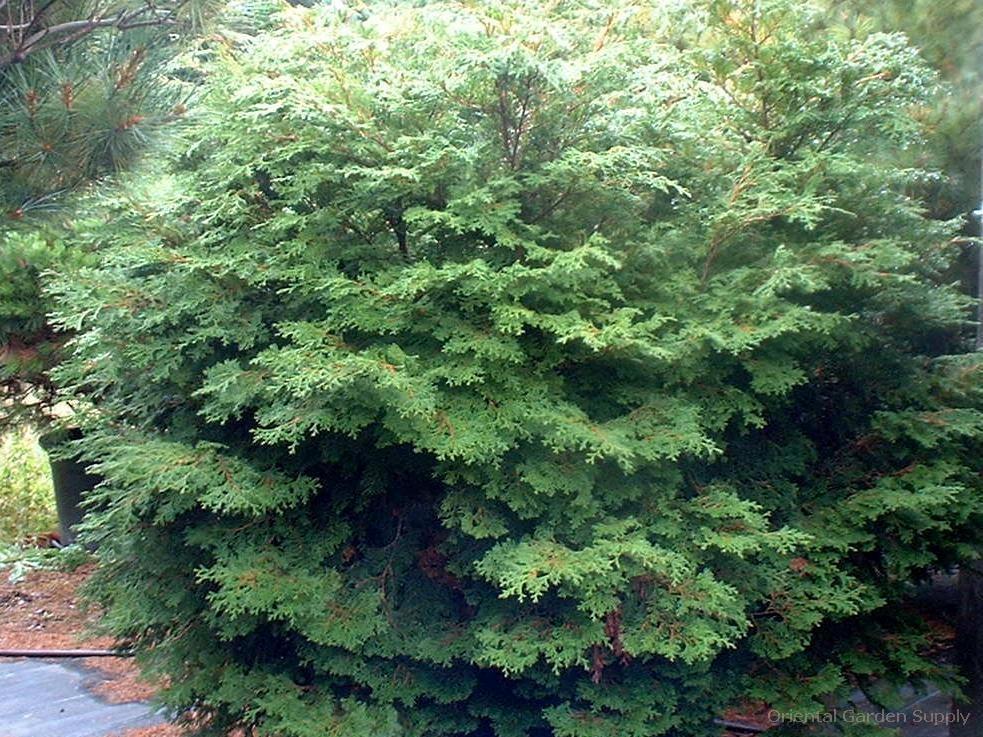 Chamaecyparis obtusa 'Pygmaea Aurescens'