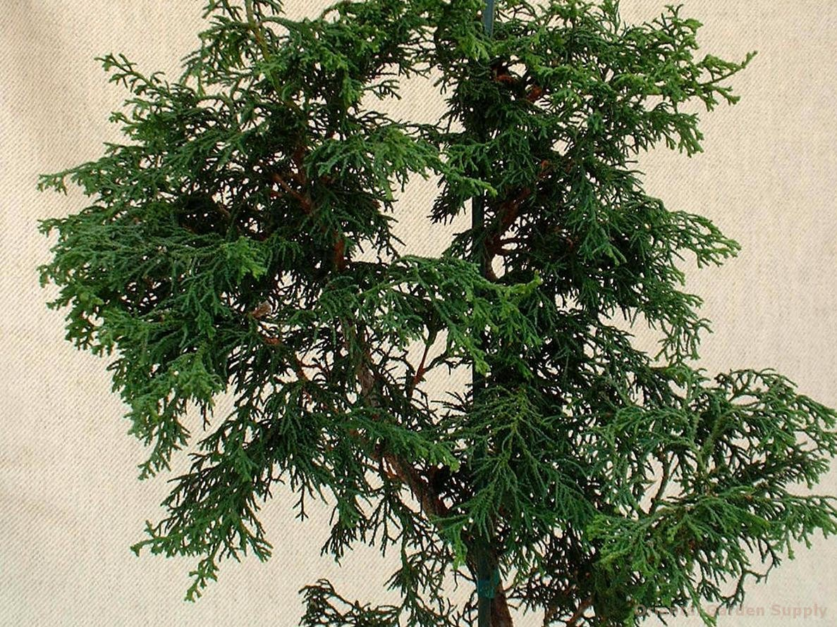 Chamaecyparis obtusa 'Tsatsumi'