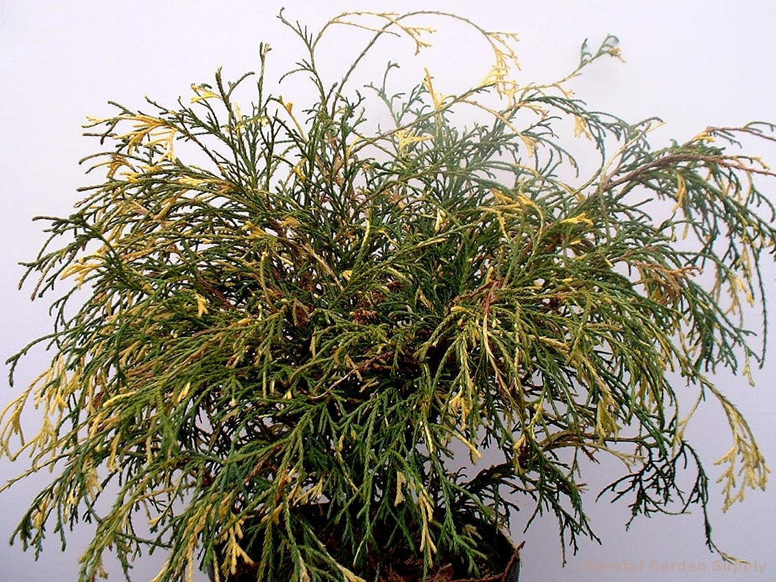 Chamaecyparis pisifera filifera 'Aureovariegata'