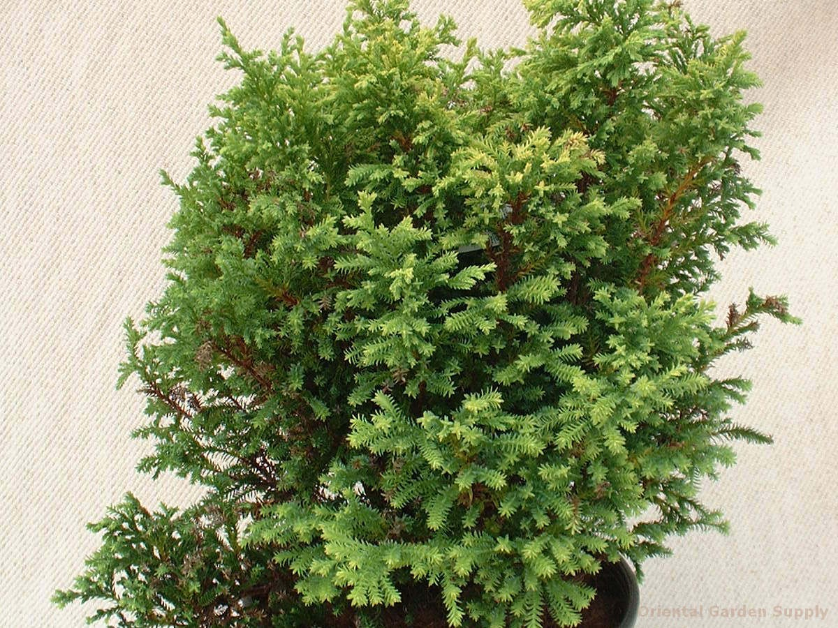Chamaecyparis pisifera 'Soft Serve Gold'