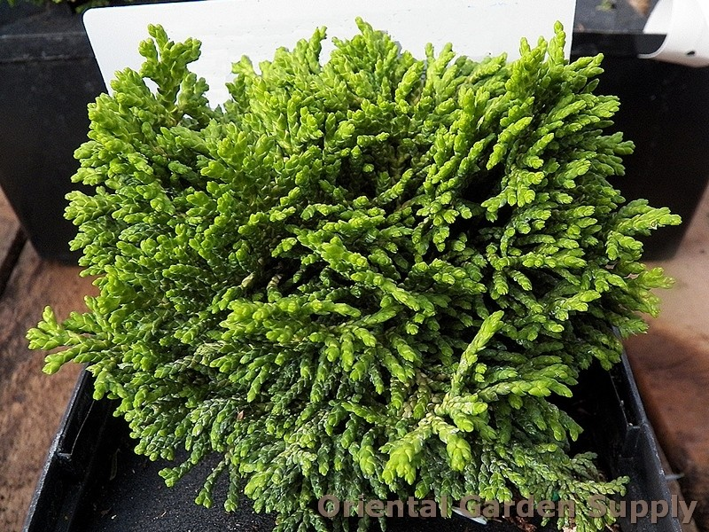 Chamaecyparis obtusa 'Golden Hage'