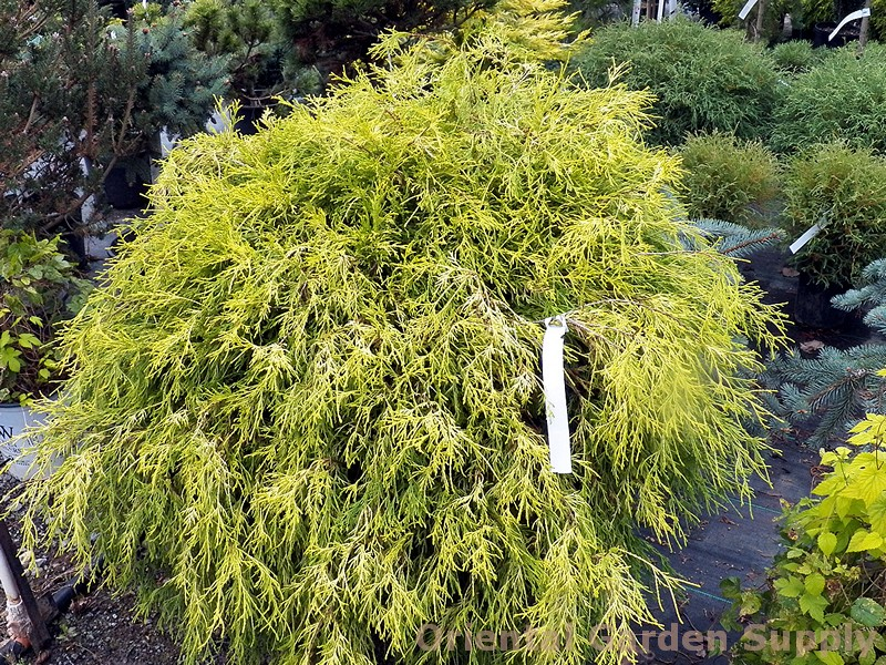 Chamaecyparis pisifera filifera 'Golden Mops'