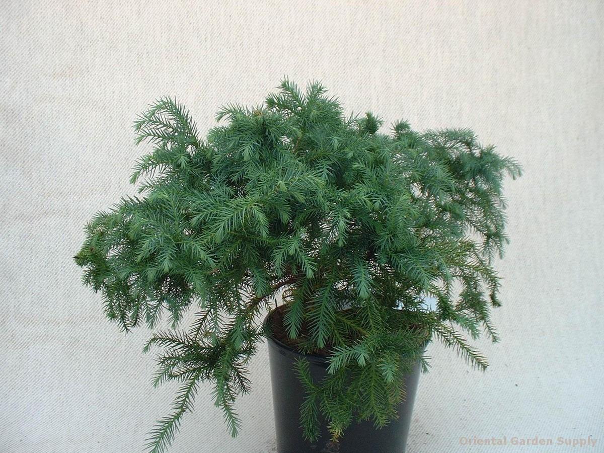 Cryptomeria japonica 'Kilmaccuragh'