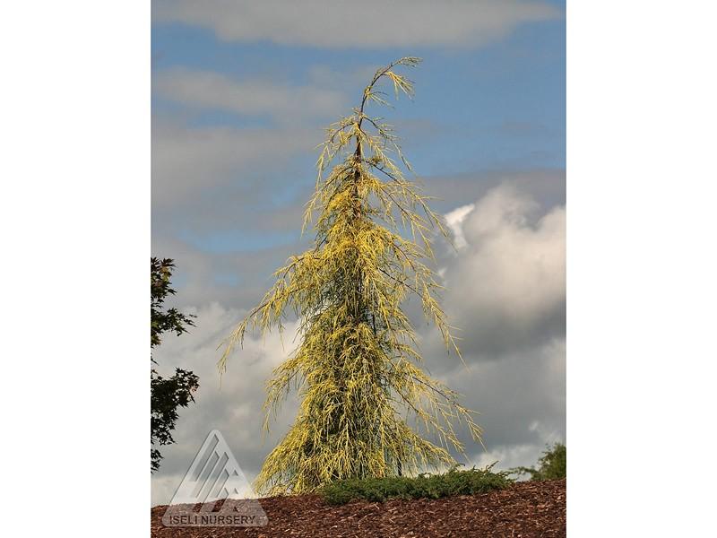 Cupressus macrocarpa 'Saligna Aurea'