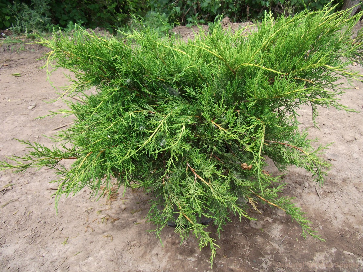 Juniperus chinensis 'Casino Gold Coast'