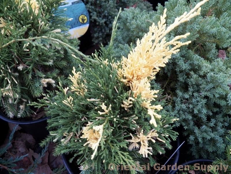 Juniperus chinensis 'Kaizuka Variegata'