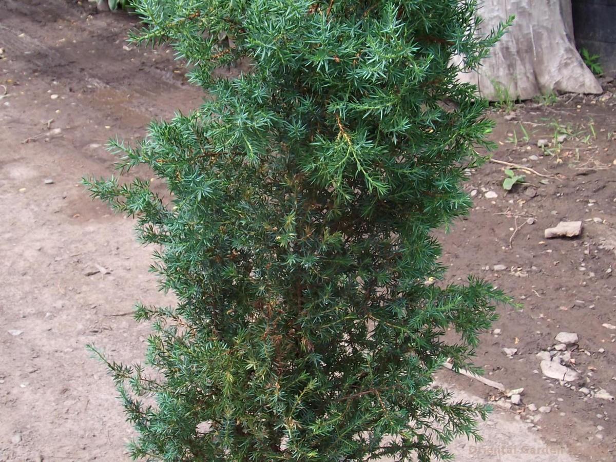 Juniperus communis 'Arnoldia'
