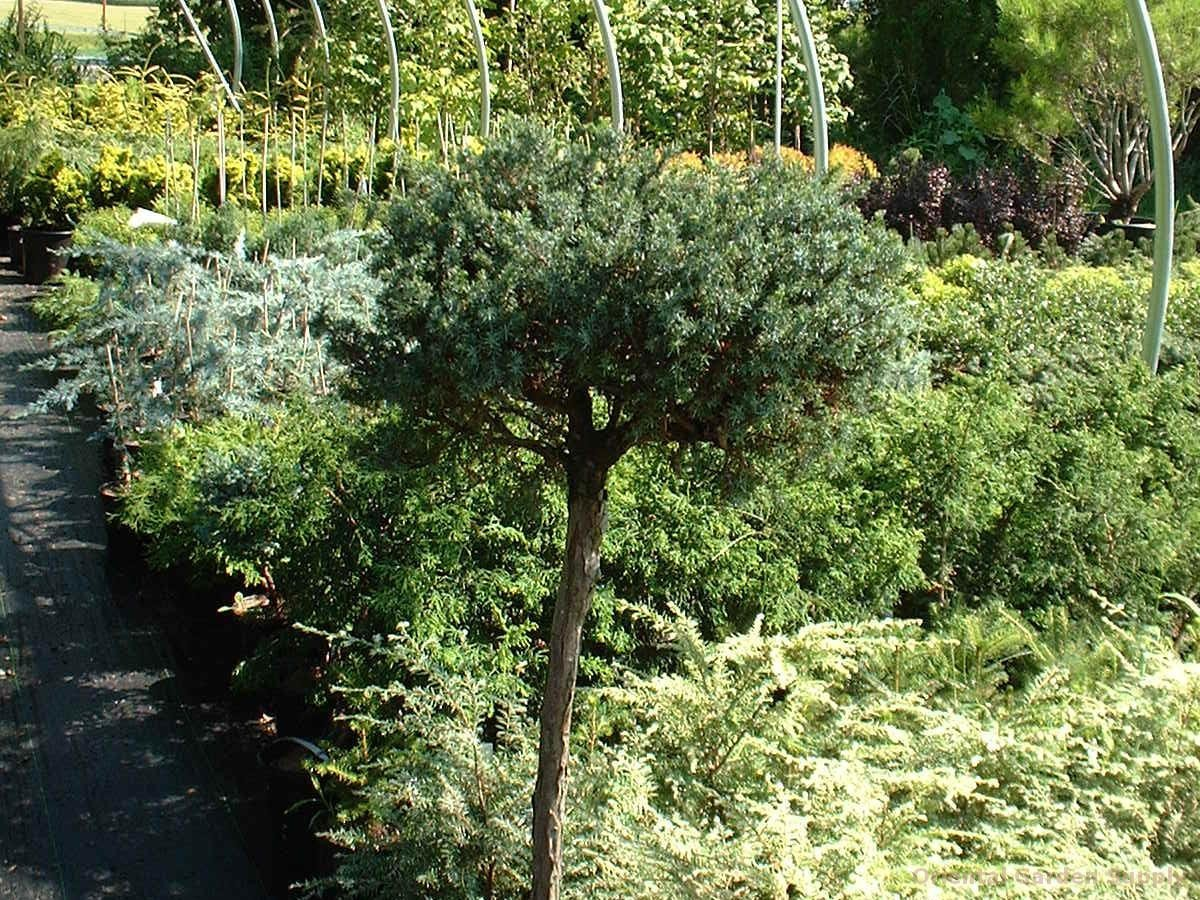 Juniperus communis 'Berkshire'