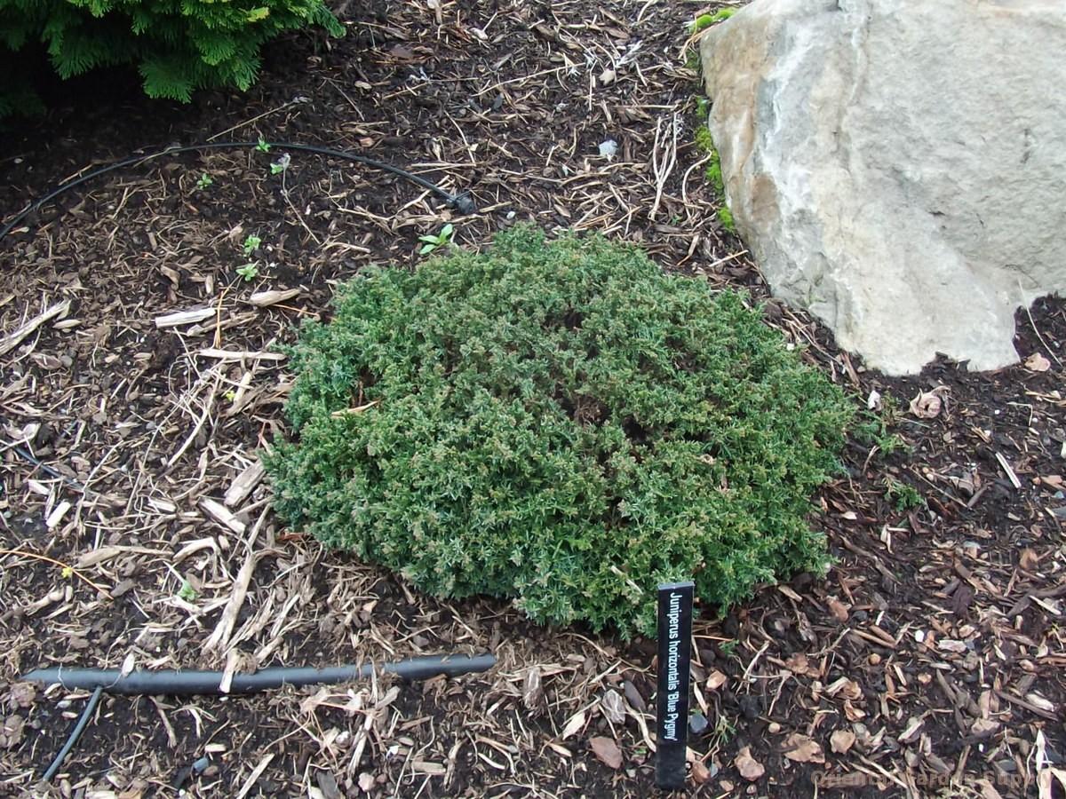 Juniperus horizontalis 'Blue Pygmy'