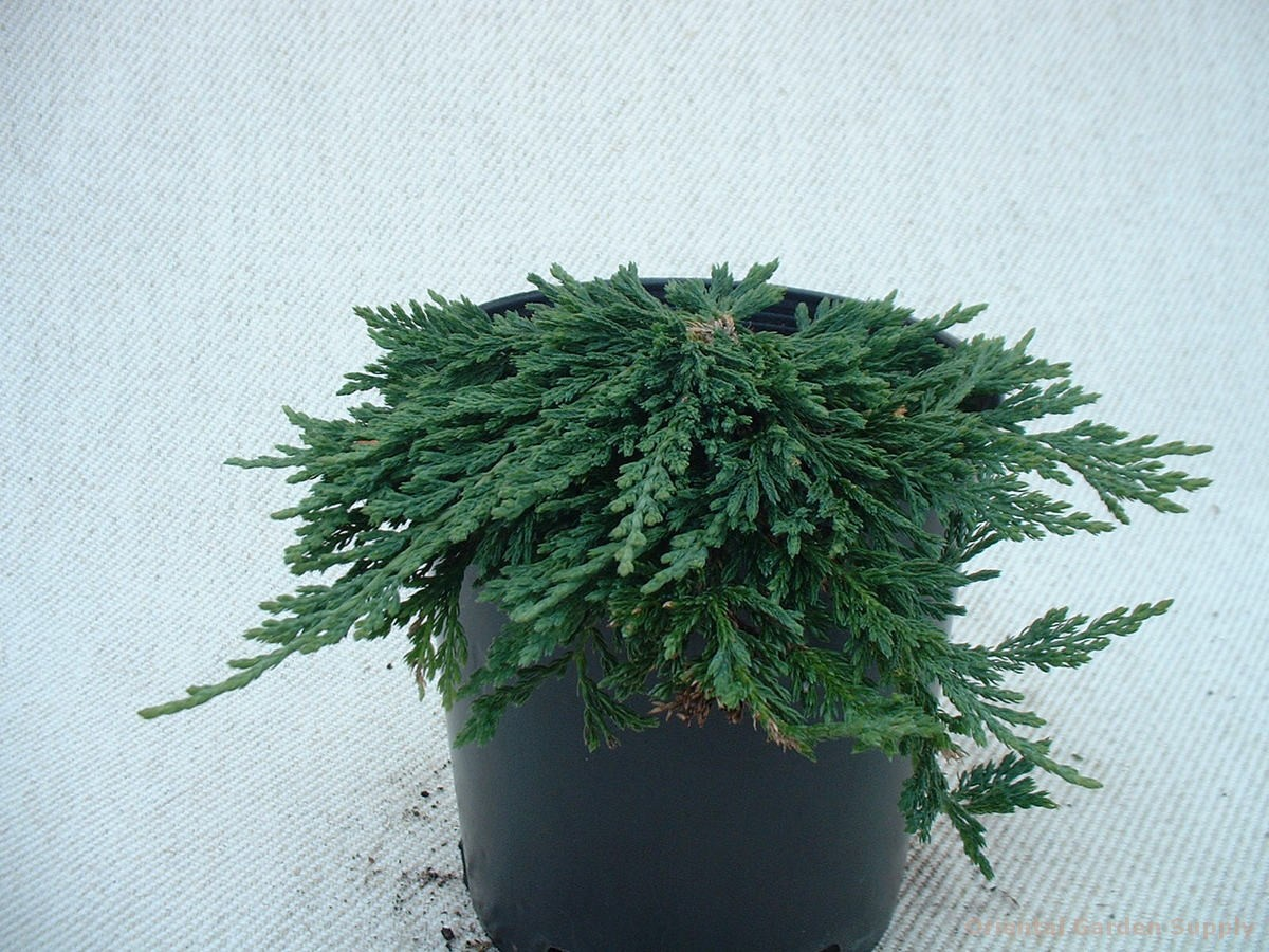 Juniperus horizontalis 'Pancake'