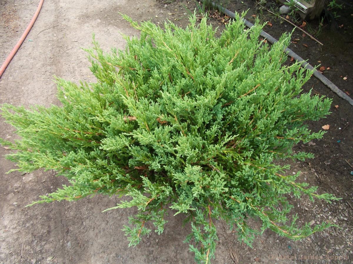 Juniperus horizontalis 'Youngstown'