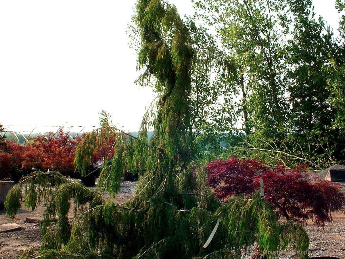 Juniperus rigida 'Pendula'