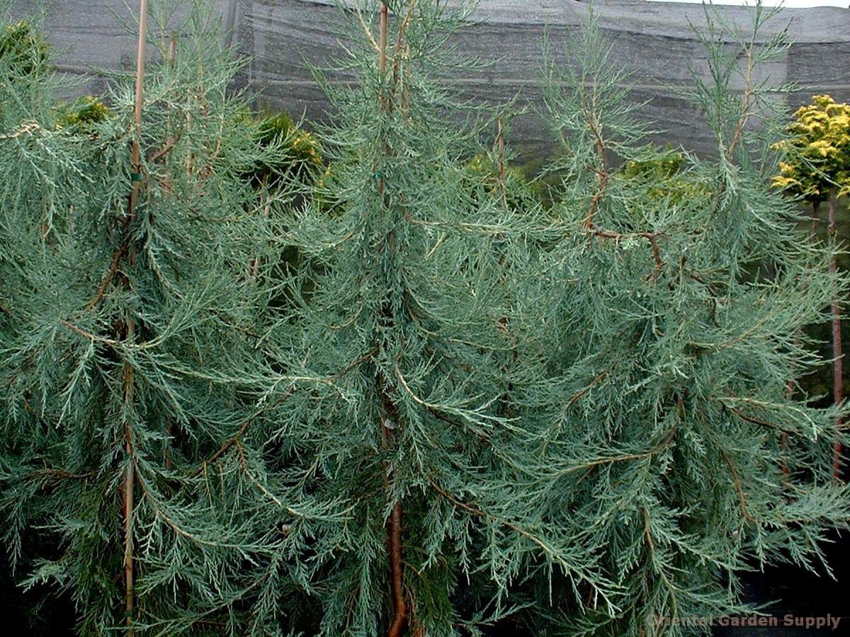 Juniperus scopulorum 'Candelabra'