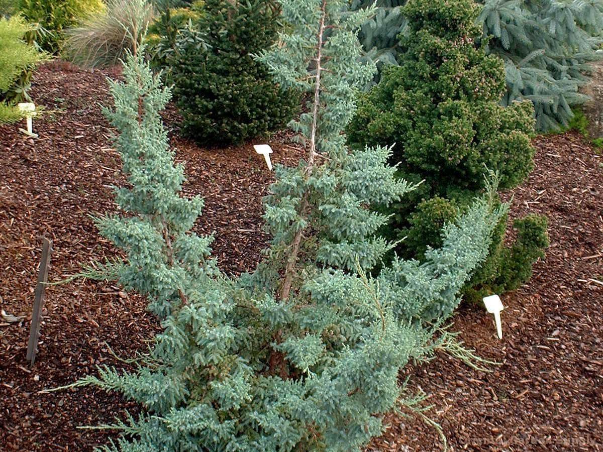 Juniperus squamata 'Chinese Silver'