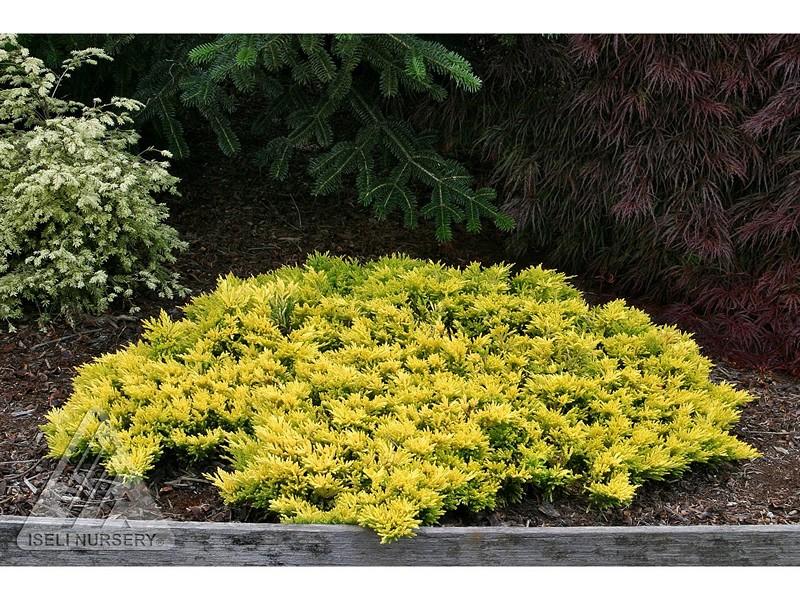 Juniperus horizontalis 'Gold Strike'