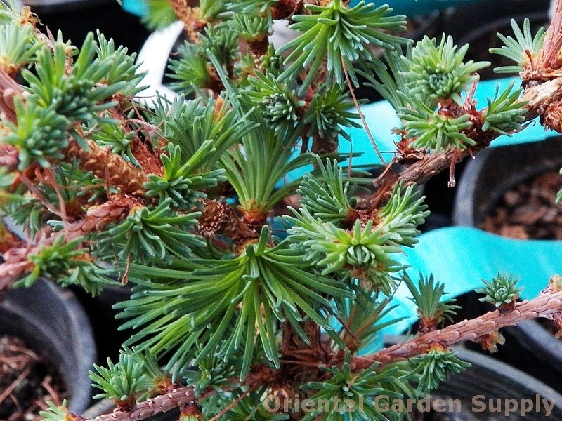 Larix kaempferi 'Blue Ball'