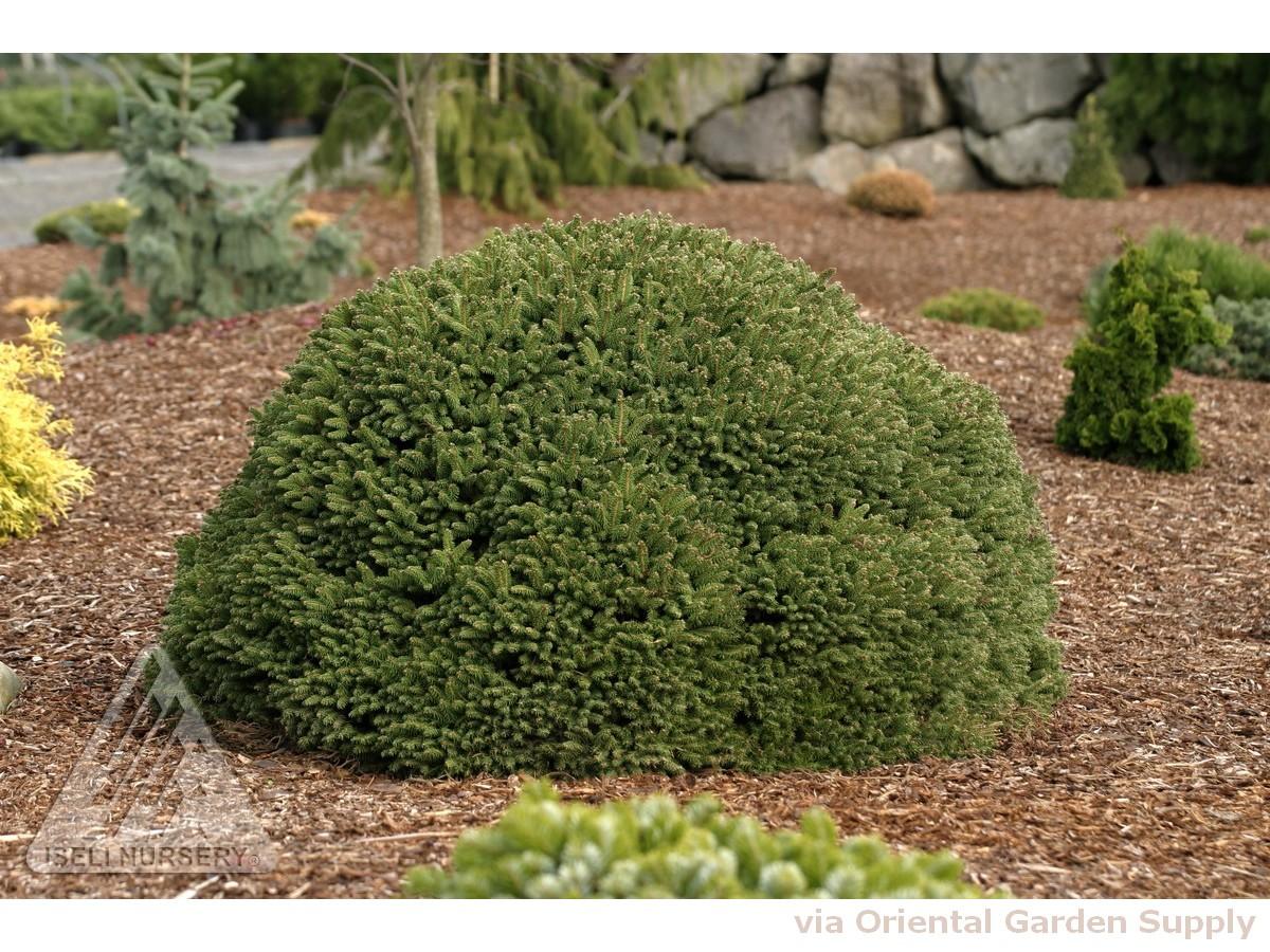 Picea abies 'Fat Cat'