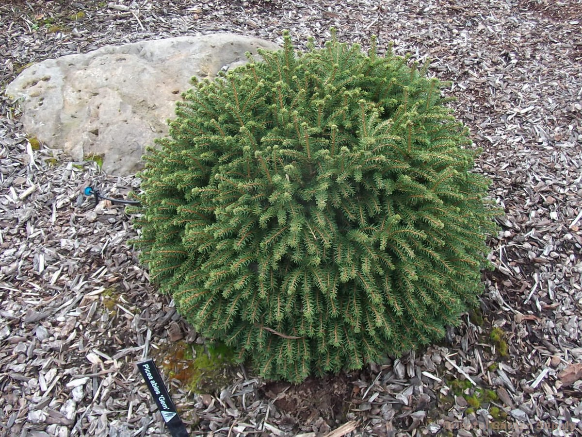 Picea abies 'Gem'