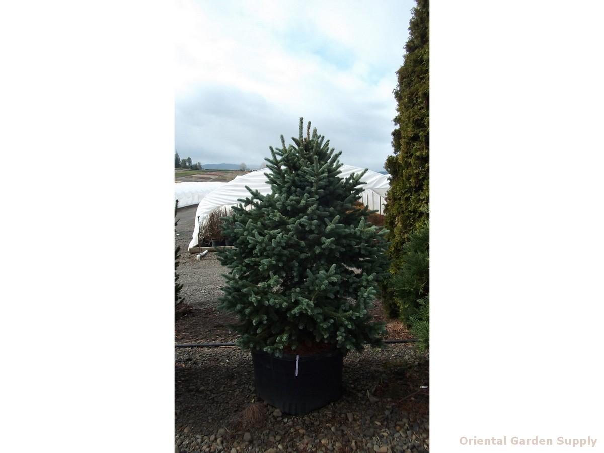 Picea engelmannii 'Vanderwolf's Blue'