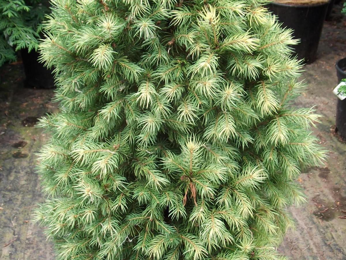Picea glauca 'Daisy's White'