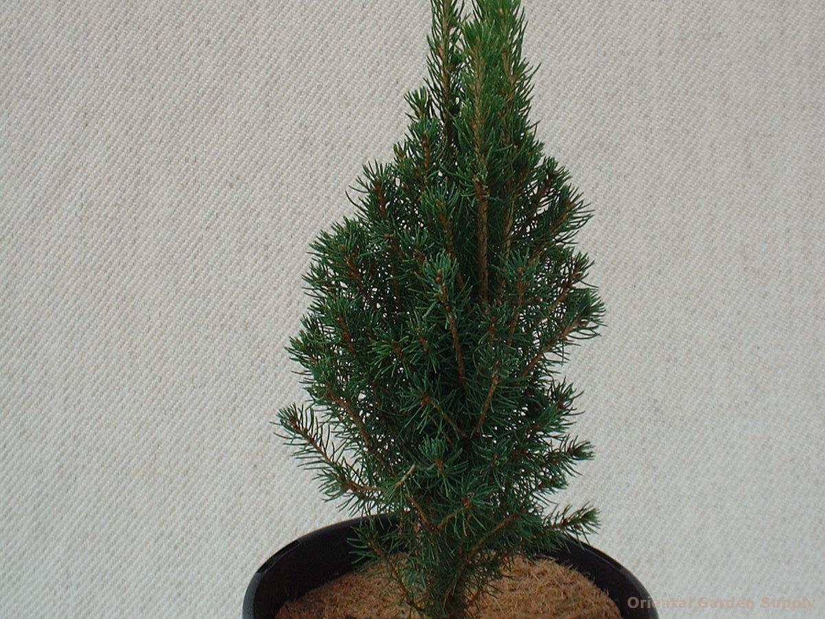 Picea glauca 'Laurin'