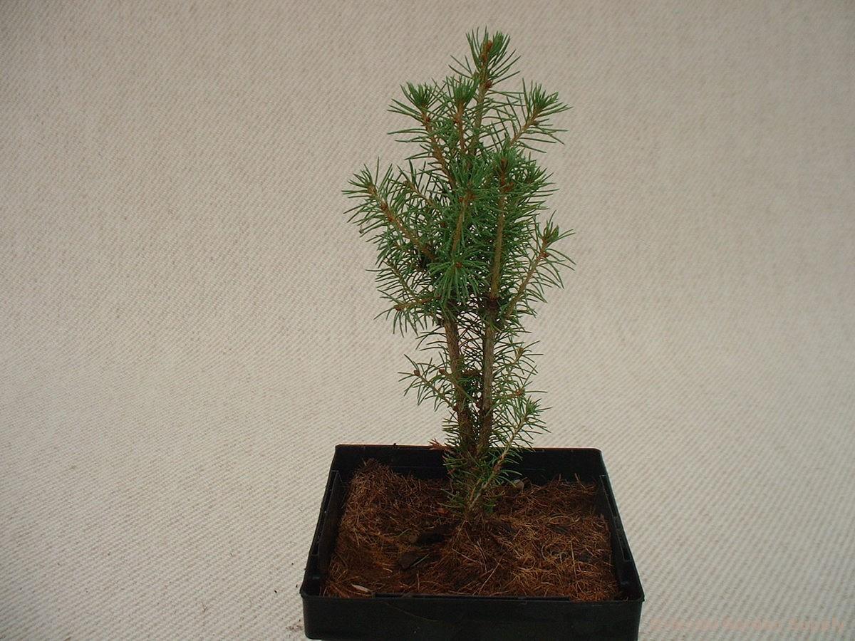 Picea glauca 'Zuckerhutt'