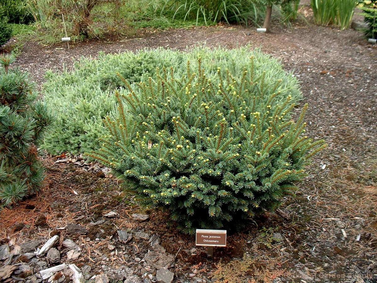 Picea jezoensis 'Chitosemaru'