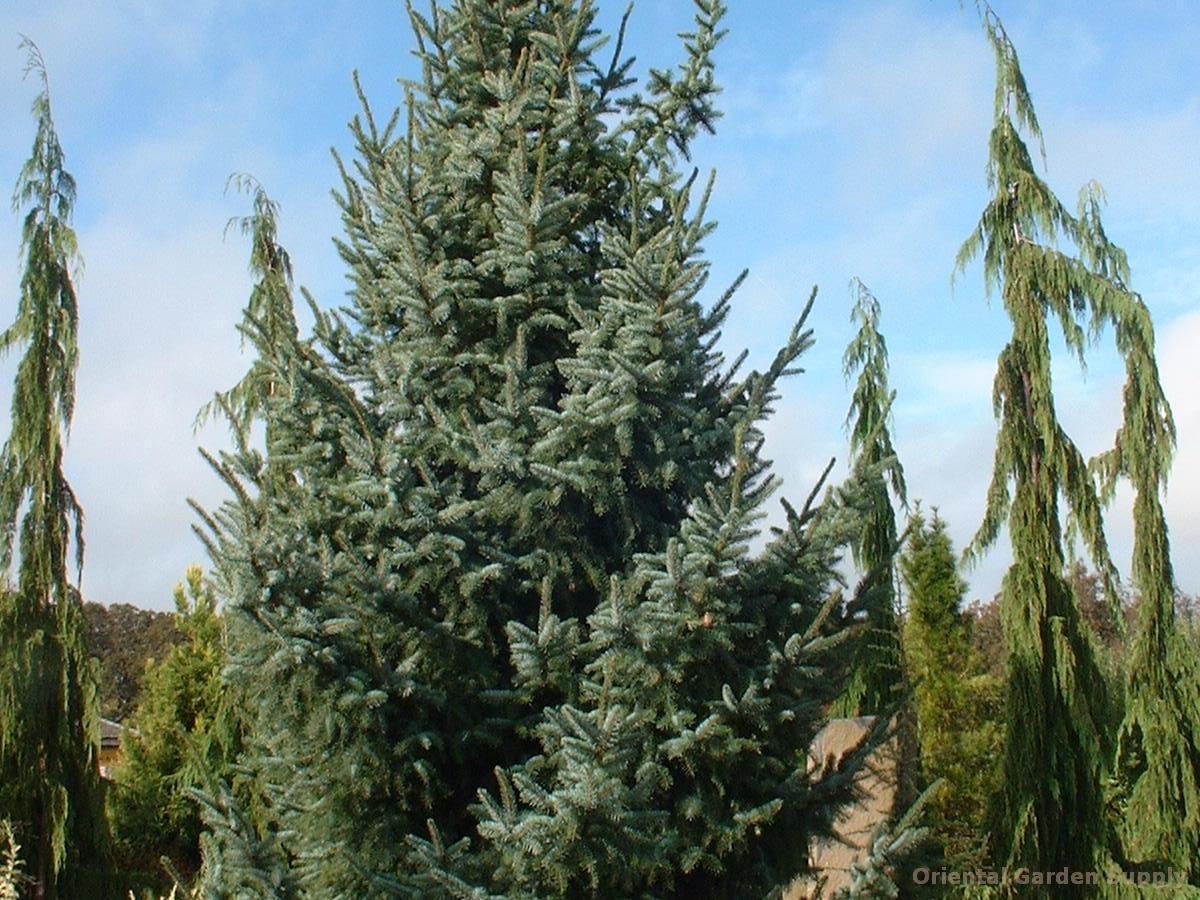 Picea omorika 'Bruns'
