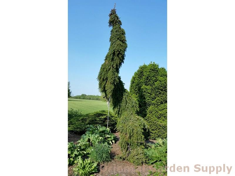 Picea omorika 'Bruns Pendula'