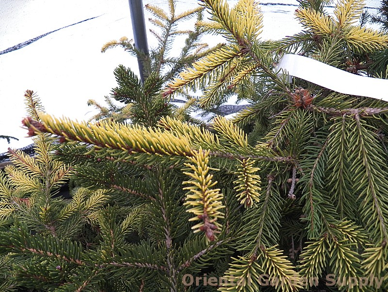 Picea orientalis 'Daureas'