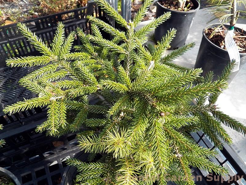 Picea orientalis 'Ferny Creek Prostrate'