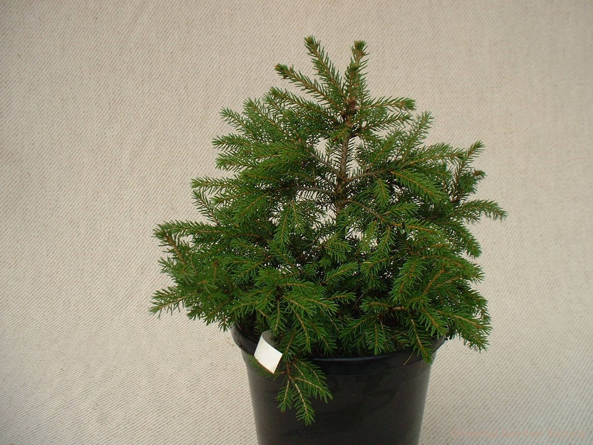 Picea orientalis 'Losely'