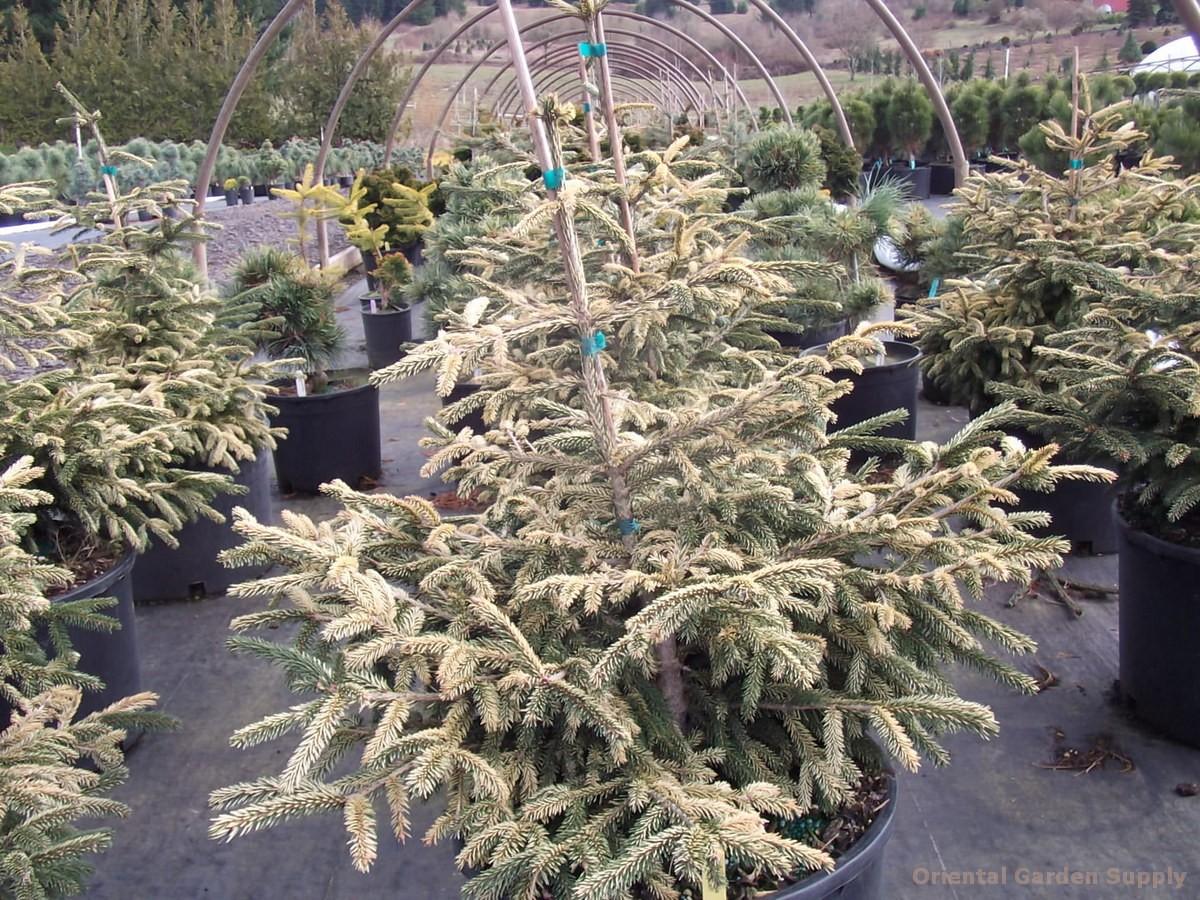 Picea orientalis 'Sulphur Flush'