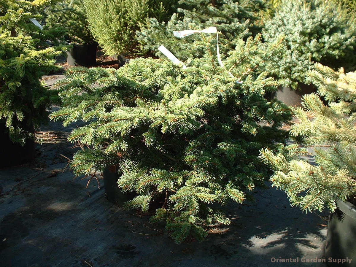 Picea pungens 'Curveball'