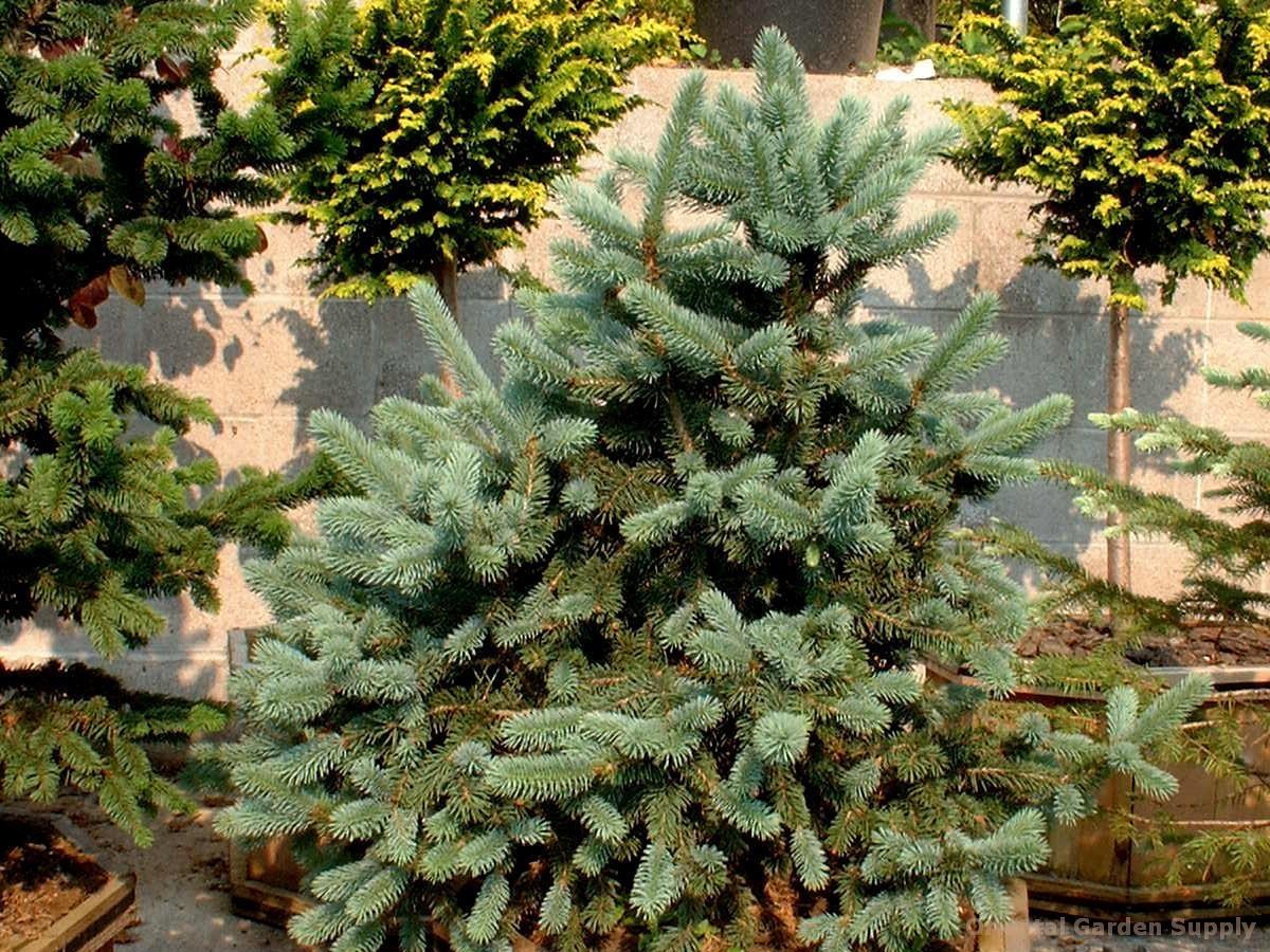 Picea pungens 'Donna's Rainbow'