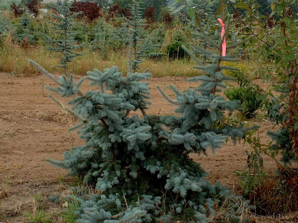 Picea pungens 'Foxtail'