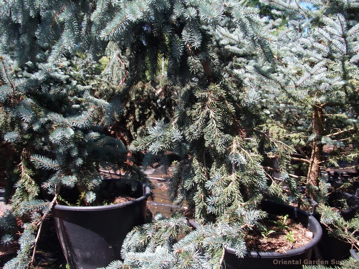 Picea pungens 'Glauca Pendula'